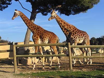 Photo girafes photos d 39 animaux for Zoo de salon de provence