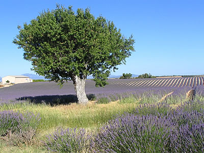 photo arbre champs de lavande photo provence. Black Bedroom Furniture Sets. Home Design Ideas