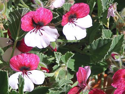 Les défis Botaniques de Shiemi :) - Page 5 Fleurs-bicolores