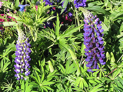 photo de lupins symbolique lupins web provence. Black Bedroom Furniture Sets. Home Design Ideas