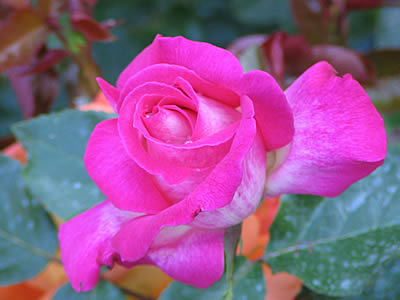 http://www.web-provence.com/fleurs/rose-4.jpg