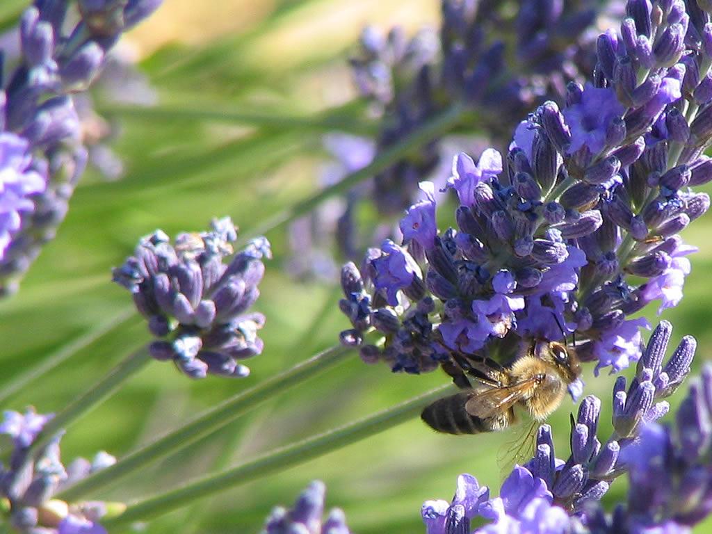 Fond ecran provence abeille butinant sur des fleurs de for Photo de ecran